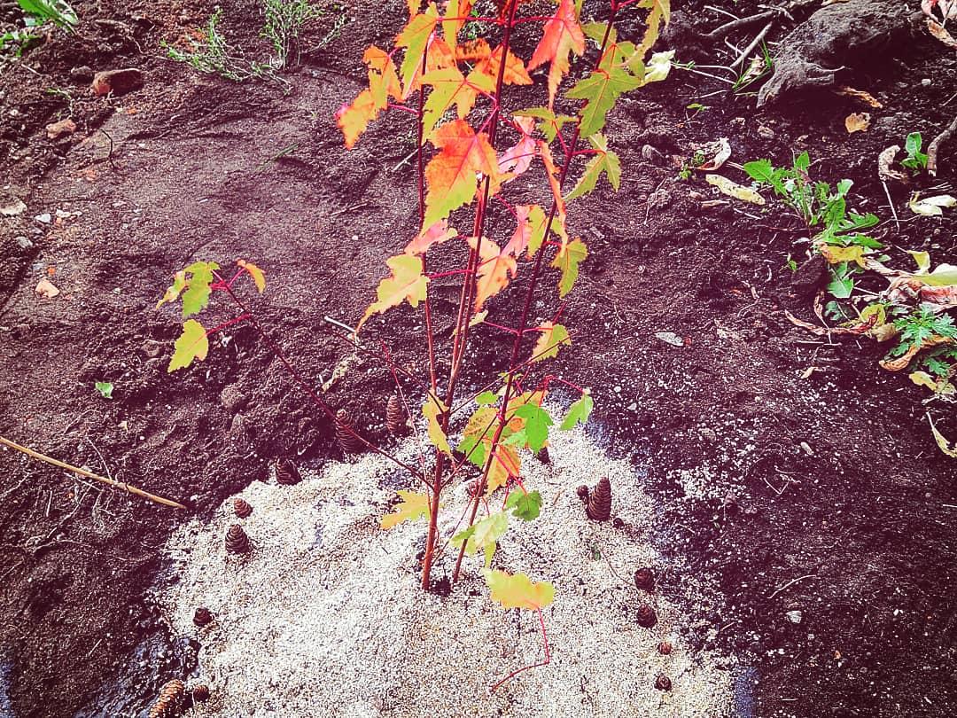 Ачинская драма устроила высадку деревьев 2